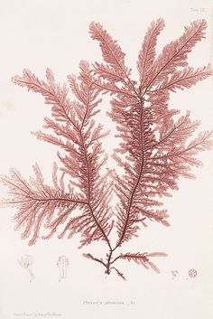 William Grosart Johnstone - Nature printed British sea-weeds. 4 Kassetten. 1859-60.