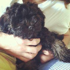 A muppet twin Be My Baby, Baby Love, Shih Poo, Sadie, 3 Months, Roxy, Doggies, Fur Babies, Twin