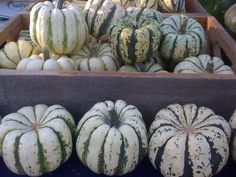 HALF PRICE Organic Heirloom Sweet Dumpling Winter Squash Seeds