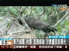 東方蜂鷹捕食蜂窩