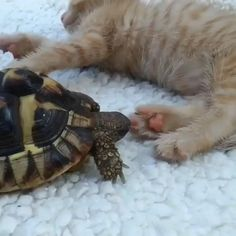 Chew on the toes Cute Little Animals, Like Animals, Cute Funny Animals, Animals And Pets, Cute Cats, Cute Animal Videos, Funny Animal Pictures, Cute Turtles, Animal Antics
