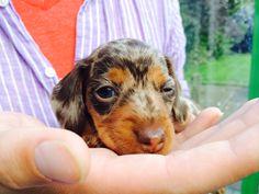Layla Dashund Teckel knipoog <3 hier is ze 5 weekjes oud!