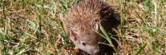 Found on the island of Madagascar, this spiky little creature closely resembles a hedgehog in looks but is actually related more to shrews and moles. They are also distantly related to aardvarks, elephants, Hyraxes, dugongs, and manatees. Madagascar pygmy hedgehog tenrecs are typically found in forest habitats where they spend some of their time in the trees and some on land. Read more at http://virginiazoo.org/2015/11/the-tenrecs-sleepy-winter-vacation/