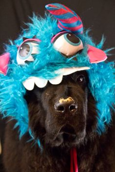 Notta Bear Newfoundlands Meshack all dressed up for Halloween in his dog costume - the adorable beast! Giant Dogs, Big Dogs, Large Dogs, Cute Dogs, Dogs And Puppies, Animal Costumes, Pet Costumes, Dog Photos, Dog Pictures