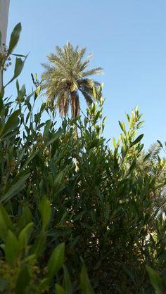#palm #tree #iraq #najaf #nature #blue_sky #spring #country_side