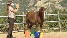 Mit einem stillstehenden und frei rückwärtsgehenden Pferd können verschiedene Zirkustricks und Elemente einer Freiheitsdressur erarbeitet werden. Bea Borelle zeigt, wie diese beiden Übungen Schritt für Schritt beigebracht und gefestigt werden können. Horses, Animals, Horseback Riding, Animales, Animaux, Animal, Animais, Horse