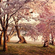 Cherry Blossom trees ♡