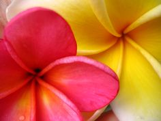 Indonesian Frangipani or plumeria from my backyard
