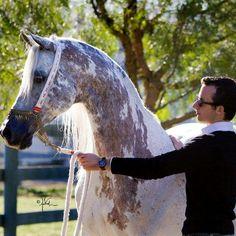 horse horses beautiful gray grayhorse standing arabianhorse cool