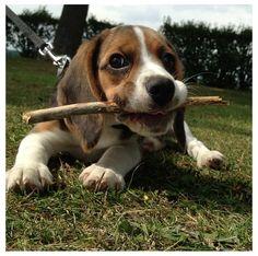 Beagle & Sticks, it's a beautiful thing.
