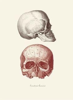 """Vintage Human Anatomy, Skulls, """"L'anatomie Humaine"""" Print 8x10 P249. $14,00, via Etsy."""