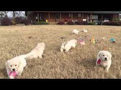 Wisteria Goldens | English Cream Golden Puppies | Piper & Ego: 11-2-15 - YouTube