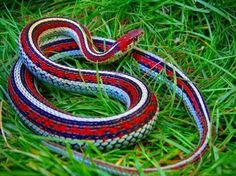 The beautiful San Francisco garter snake can be seen in the western parts of the San Francisco peninsula, around hillsides from the San Fran. city line. Anaconda, Snake Breeds, Garden Snakes, Snake Photos, Colorful Snakes, Beautiful Snakes, Pretty Snakes, Snake Venom, Pretty Tough