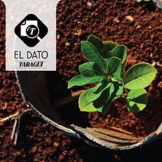 ¿Sabías que la yerba mate requiere ocho años de crecimiento antes de su cosecha?