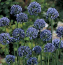 True Blue Allium flowers are the gardener's holy grail, and this Siberian native provides them in abundance. Allium azureum is easily grown and decorates the garden with plenty of 1 round flax-blue flowers. Allium Flowers, Bulb Flowers, Flowers Perennials, Dried Flowers, Flowers Garden, Garden Bulbs, Planting Bulbs, Flower Colouring In, High Country Gardens