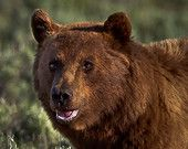 Grizzly Bear Portrait, Wildlife Photography, Fine Art, Nature Photography, Animal Photography, Rob's Wildlife, Epic Wildlife Adventures