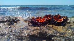 Prelibatezze dal Mare di Puglia: i ricci! Il frutto si mangia con un cucchiaino, meglio con la mollica del pane. Un primo piatto con polpa di ricci è WOW!!!