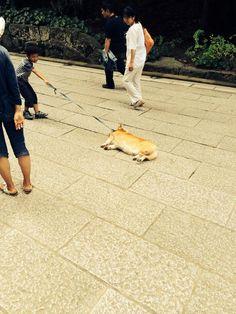 犬「もう動きたくないでござる」動きたくない犬たちの必死の抵抗画像10選!