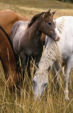 Pretty horses in the tall grass grazing.