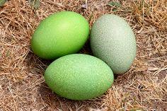 Cassowary Eggs.