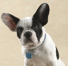 French Bulldog, what a Face 🐾❤️