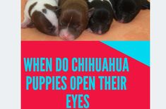 Ever wondered as to when Do newborn Chihuahua Puppies Open their Eyes? This question may sound elementary to many, however, my fascination and intrigue can't… Puppy Care, Pet Care, Small Breed, Small Dogs, I Love Dogs, Cute Dogs, Awesome Dogs, Dog Rash, Chihuahua Puppies