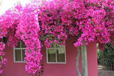 Bougainvillea & garden house-Henk Scholtz