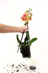 Just Add Ice gives orchid owners advice on when and how to repot their orchid.