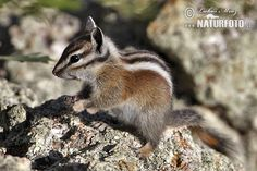 chipmunk pictures | Uinta Chipmunk (Tamias umbrinus)