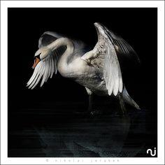 Love the greys and contrast Swan Love, Beautiful Swan, Beautiful Birds, Most Beautiful Animals, Beautiful Creatures, Cygnus Olor, Swan Tattoo, Trumpeter Swan, Mute Swan