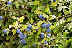 Schlehenhecke mit Früchten