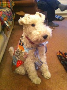 You have GOT to be kidding me. What the hell am I wearing? If I hold really still, no one can see me. Fox Terriers, Perro Fox Terrier, Bully Terrier, Welsh Terrier, Wire Fox Terrier, Airedale Terrier, Cute Puppies, Cute Dogs, Animals And Pets