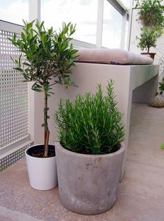 rosemary in cerment plant pot - Google Search