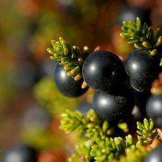 crowberry (camarina  negra)
