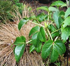 Remove tattered foliage from Hellebores now but hold off on trimming ornamental grasses until early spring.