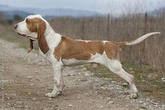 Sabueso español (Spanish Hound)