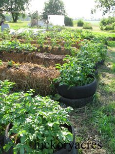 Growing Potatoes In Hay or Straw Bales
