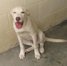 URGENT HIGH KILL ANIMAL SHELTER!!  Lee County Animal Shelter NC.  Male, 0Yrs 4 Months   blonde Lab-X Dog	 12585