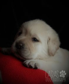 Deeply looking Labrador Retriever Puppy