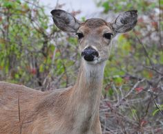 Close view of a white-tailed deer