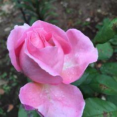 ギヨーのバラ♪ アン・ソフィー  -  Anne Sophie PICは、2013年作出の新しいバラですので、まだお持ちの方はそう多くはないと思いますが、コピスガーデンのお庭でその全貌をあらわにしてくれはじめています!そもそも、アン・ソフィーさんって誰? 知っているよーとおっしゃる方は相当なグルメさんですねー一度、お相伴にあやかりたいもの!(笑)スイス、ローザンヌのレストランでご活躍の女性シェフ。 かのミシェランで星二...
