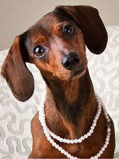 I've got my Pearls on!!!  Love the inquisitive look of the dachshund.