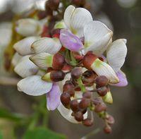 Karanja - La karanja est une plante médicinale sous forme d'arbre, impliqué dans la médecine traditionnelle Âyurveda, de nos jours, on la retrouve sous forme d'huile extraite utilisée dans les pathologies cutanées. La karanja est un remède de nombreuses affections de la peau, elle soigne le vit... http://www.complements-alimentaires.co/wp-content/uploads/2015/08/karanja_Pongamia_pinnata.jpg - Par Nathalie sur Compléments alimentaires  #Lesplantesdelafamill