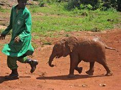 naughty baby elephant chasing trainer, elephant orphanage nairobi, kenya