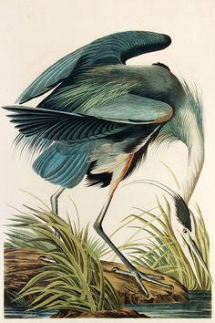 Great Blue Heron Art Print for sale. Shop your favorite John James Audubon Great Blue Heron Art Print without breaking your banks. Audubon Prints, Audubon Birds, Birds Of America, North America, Kunst Poster, John James Audubon, Blue Heron, Vintage Birds, Art And Illustration