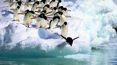 birds adelie penguins antartica penguin bird antarctica photo gallery