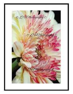 Note Card Set Cream & Pink Dahlia Photo Note by LMRPhotography2