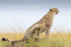 Cheetah - Teacher & Student by Johan Siggesson on 500px