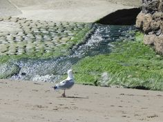The bottom of the walk way towards the beach , where a little sewage system is spilling out , rather like a waterfall...the sea weed growth is very naturalistic and proves what part of Britan you are looking at .