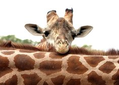 Contemplation - Baby giraffe Animals Baby animals African animals Funny animals Art Art photography Photography 5x7 Greeting Cards.. $4.00, via Etsy.